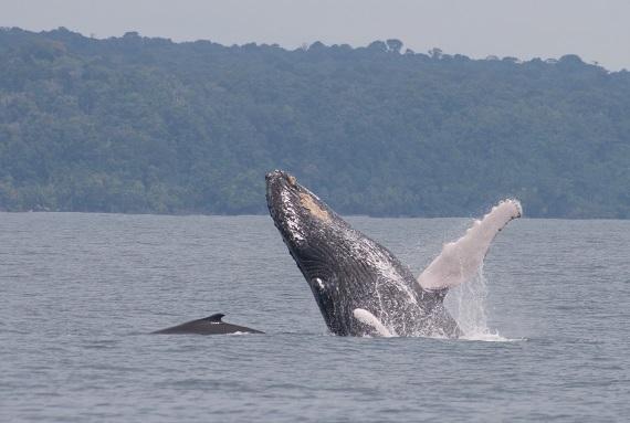 Isla Ballena betekent 'het eiland van de walvissen', er is geen betere plek in Costa Rica om bultrugwalvissen te spotten.