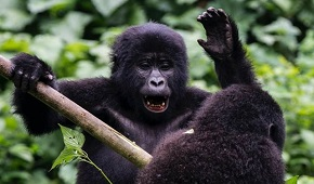 I AM THE NEXT SILVERBACK LEADER