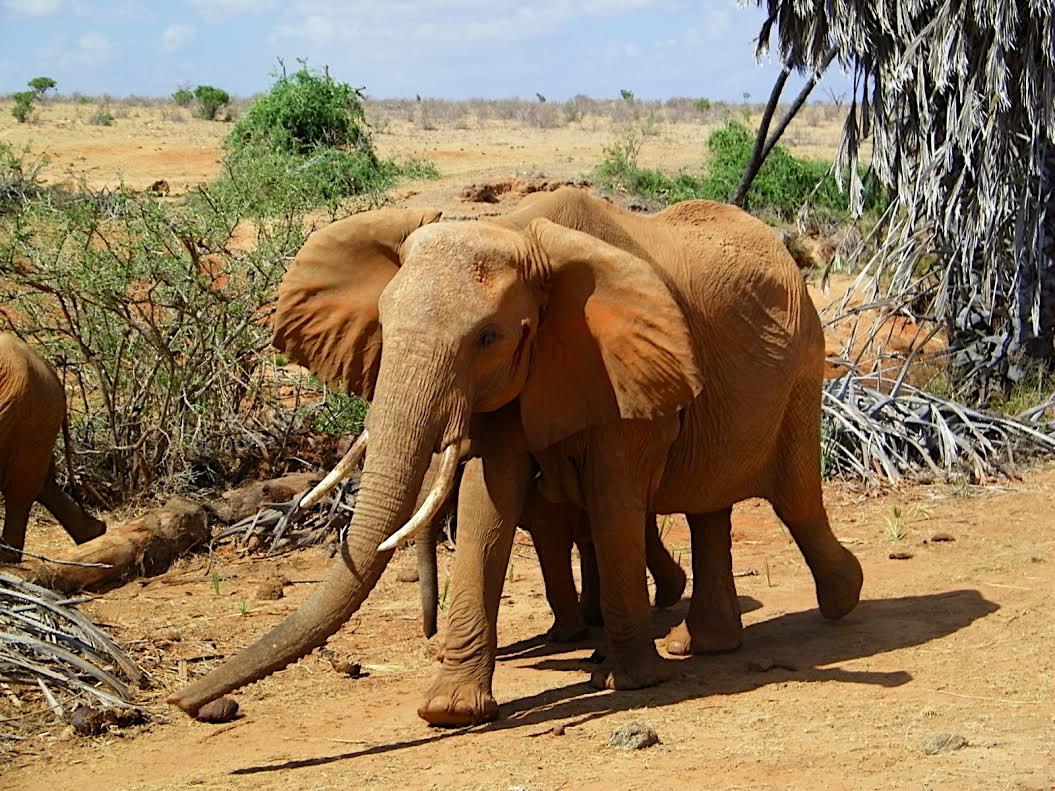 Olifanten in het Tsavo park