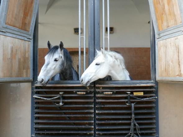 De witte Lippizaner paarden behoren tot de bekendste bezienswaardigheden van Wenen. Samen met hun ruiters voeren ze shows op die druk worden bezocht. Ook kun je de trainingen bijwonen en een bezoek brengen aan de stallen.