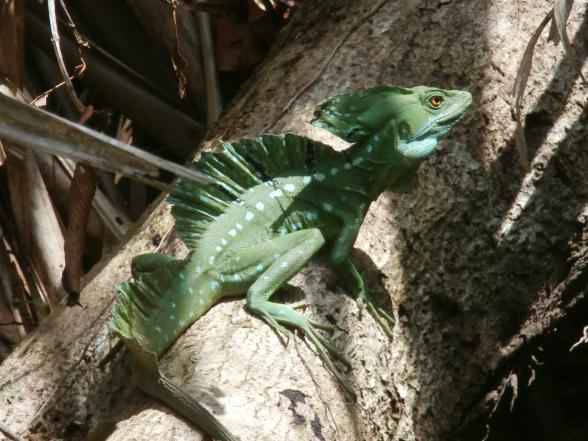 Een prachtige groen gekleurde leguaan, zonnend op een tak in Tortuguero.