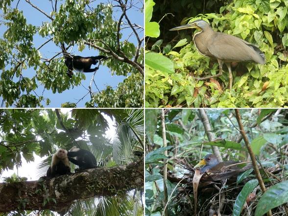 Het dierenleven van Tortuguero is fantatisch. Nergens anders in Costa Rica zag ik zo'n grote hoeveelheid en variatie aan dieren.