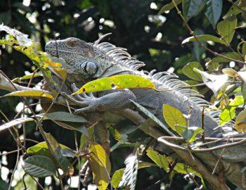 Het dierenrijk van Tortuguero