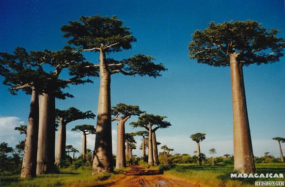 Madagascar reishonger