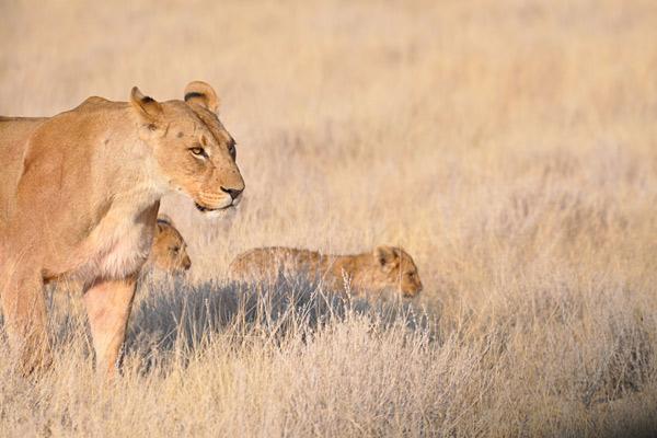 namibie-daktent-leeuwen-etosha