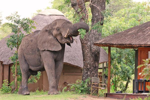 zuid afrika olifanten