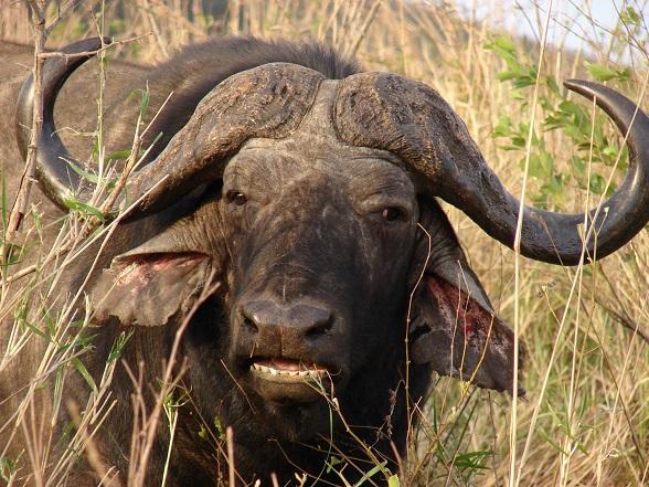 afrikaanse buffel