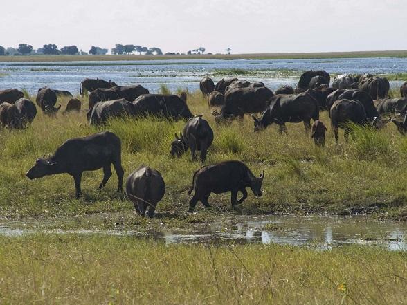 Chobe riverfront buffels
