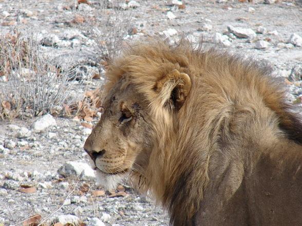etosha leeuwen