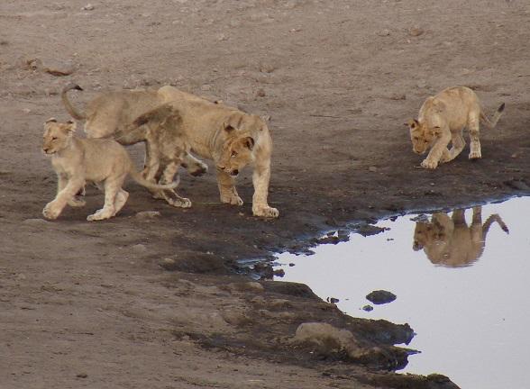 etosha np leeuwen
