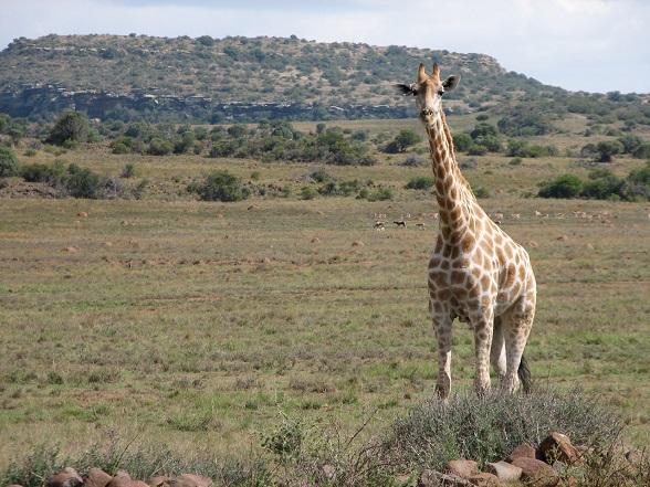 giraffe zuid-afrika