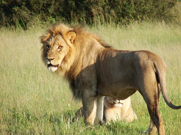 leeuwen zuid-afrika