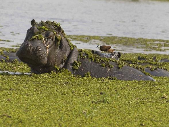 Moremi nijlpaard