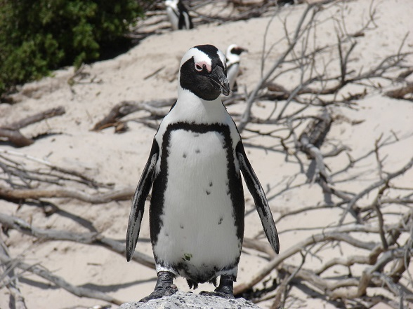 pinguins afrika