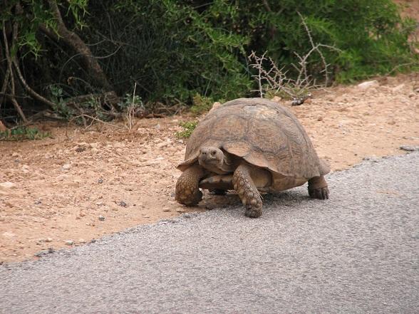 schildpad zuid-afrika