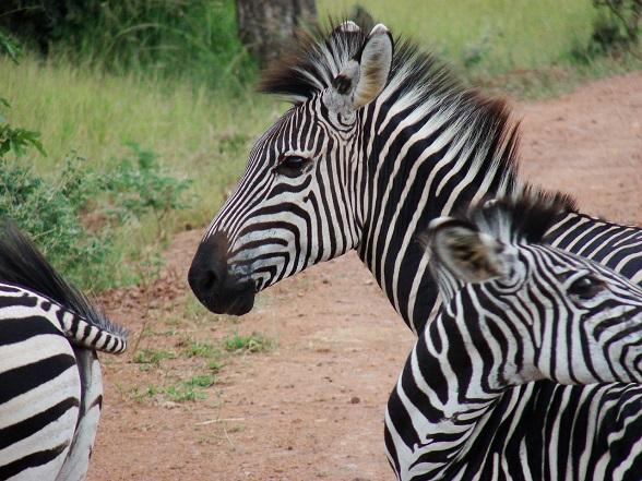 zebra zuid-afrika