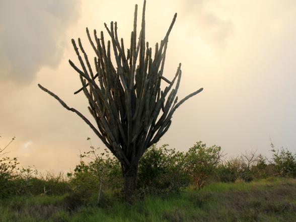 Op Curacao vind je cactussen in alle soorten en maten