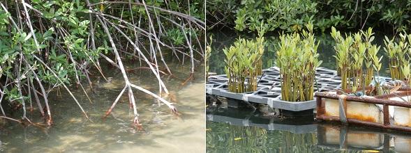 Het planten van de mangroveboompjes is hard werk