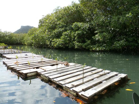 Inmiddels zijn er zo'n 100.000 mangroveboompjes geplant op Curaçao