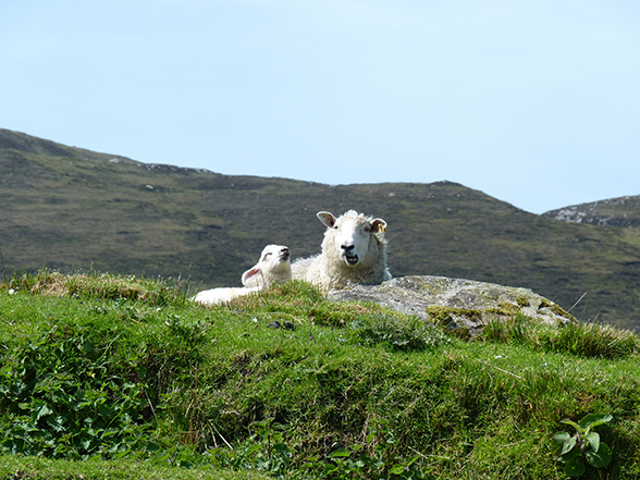 relaxende schapen in Donegal