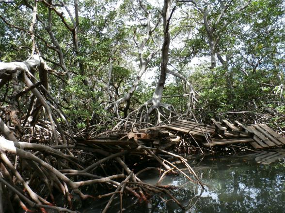 Curacao heeft de eerste mangroveplantage ter wereld. Dankzij de mangrovebossen behoudt het water rondom het eiland haar mooie blauwe kleur.