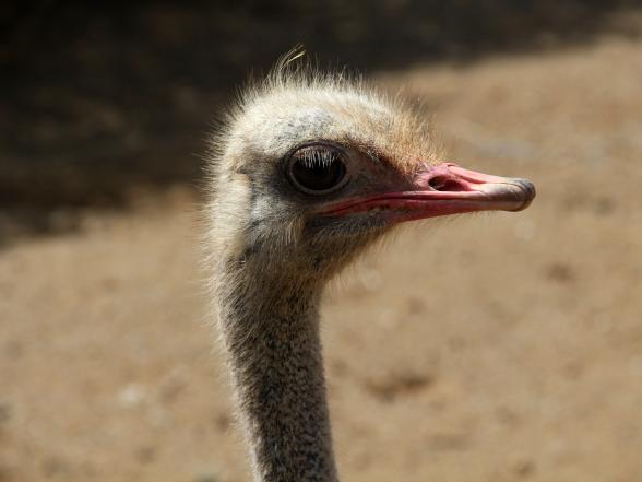 Een bezoek aan de struisvogelfarm is - hoewel erg toeristisch - wel de moeite waard. De gidsen vertellen op een leuke manier over de dieren en weten ontzettend veel over ze.