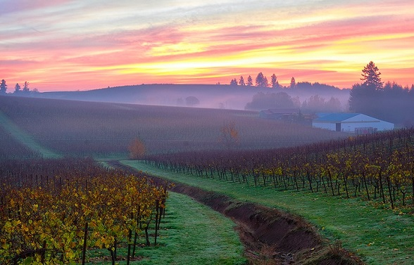 Willamette Valley Vineyard at Dawn