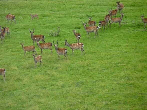 Herten nabij Lough Dan