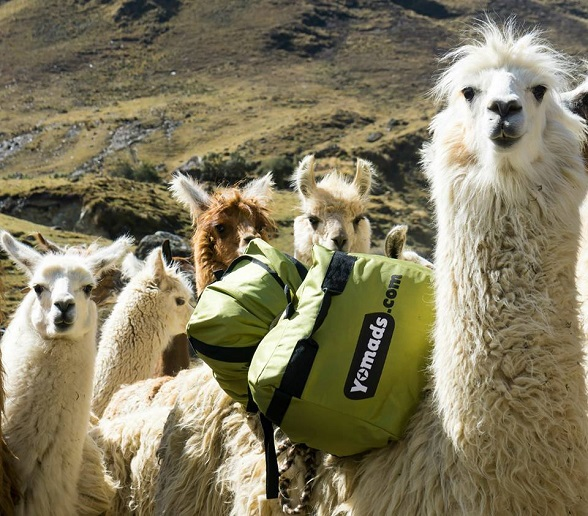 Lama's Yomads Peru