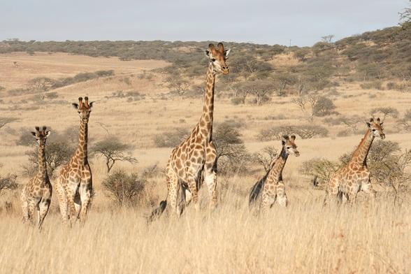 giraffen zuid-afrika