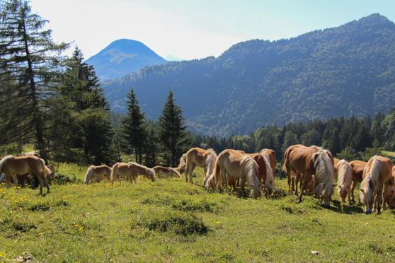 Paardenpracht in de Alpen