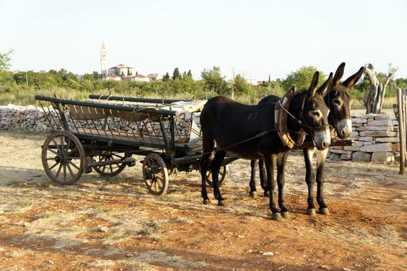 Het traditionele vervoer van Istrië. Momenteel is dit paar ezels, genaamd Markus en Stella, het enige paar getraind om de kar te trekken op de oude manier.