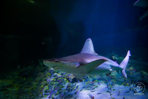 Shark WEB-6