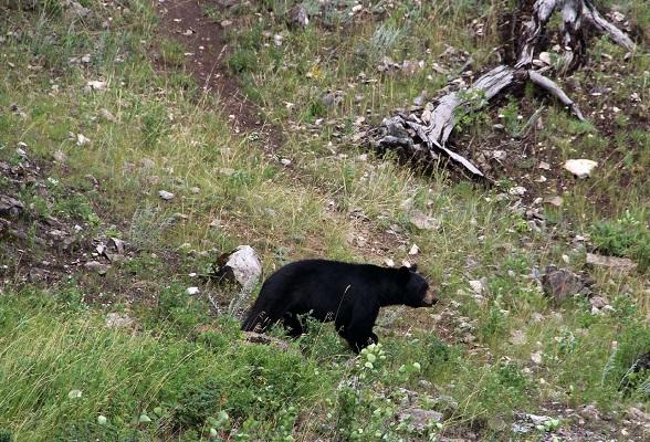 Beren spotten in Jasper National Park