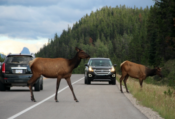 Dieren spotten Jasper National Park Canada