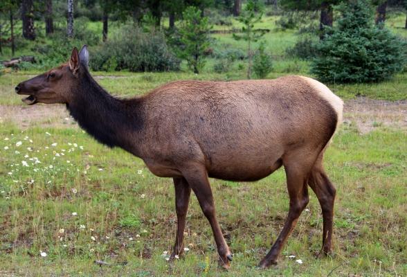 Een edelhert in Jasper, Canada