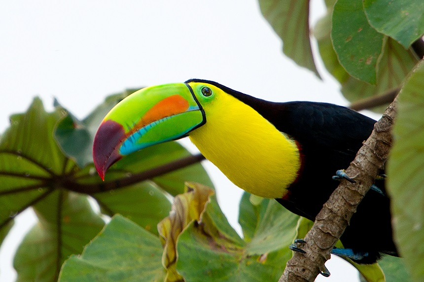 Zwavelborsttoekan, Pico Bonito National Park, Honduras