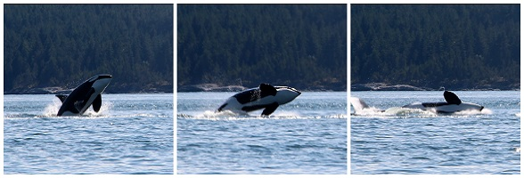 Orka's spotten in Canada Vancouver Island