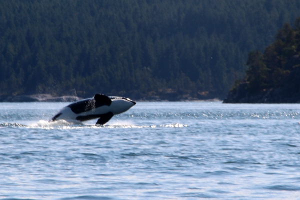 Killer whale watching Canada Vancouver Island
