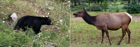 Wildlife spotten in Jasper National Park