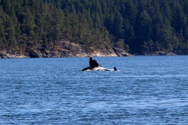 Sprong van een orka in Canada