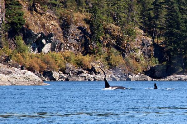 Orka's en walvissen spotten in Canada, Vancouver Island