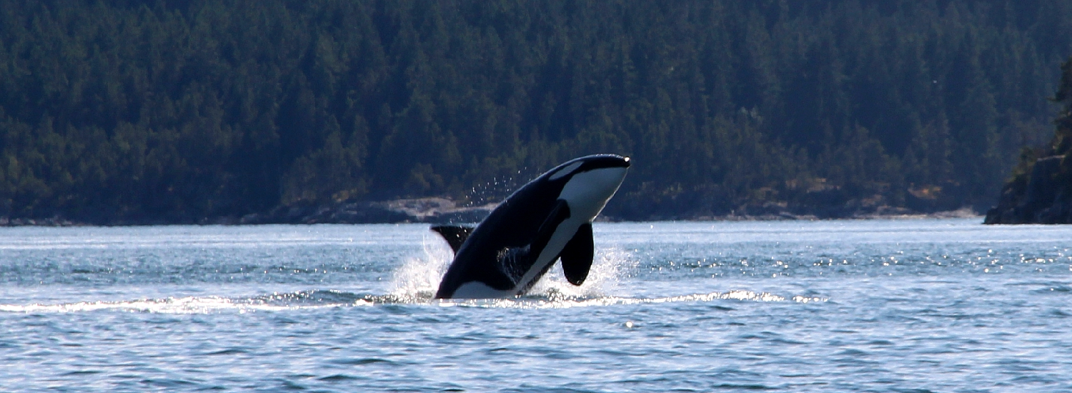 Orka's spotten in Canada, Campbell River, Vancouver Island