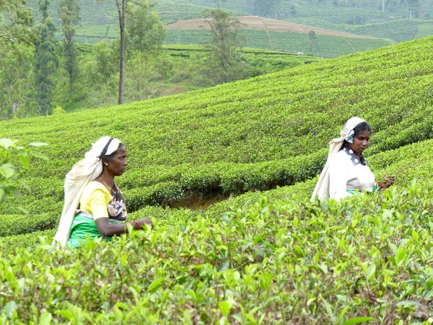 Sri Lanka natuur theevelden