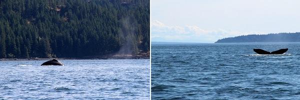 Walvissen spotten op Vancouver Island