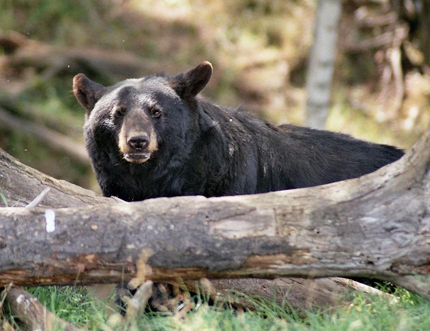 Oog in oog met een beer