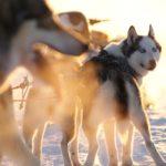 Overwinteren in Lapland