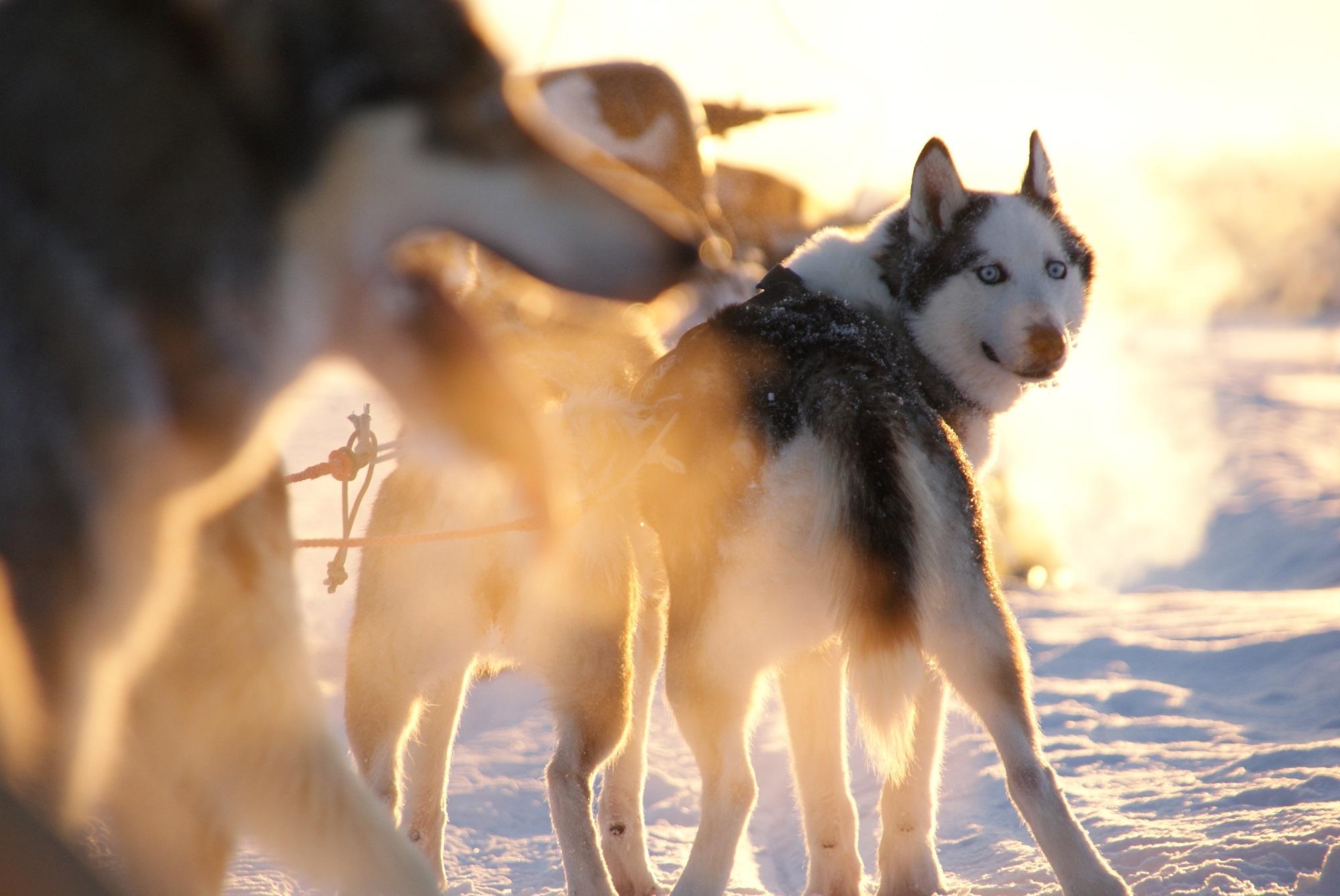 husky-salla