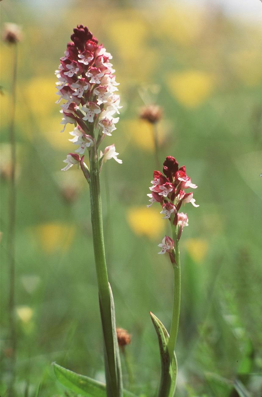Op Öland bloeien ruim 30 soorten orchideeën