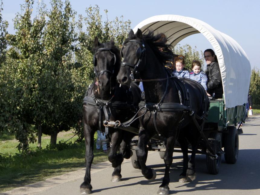 Een huifkar brengt bezoekers van de fruitplukdag in Wijer van de parking naar de boomgaarden en terug